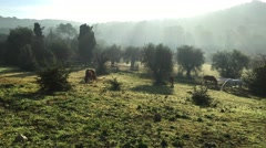 Few wild horses grazing in a field, eating grass, the morning frost on the grass Stock Footage