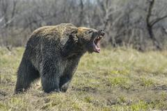 A brown bear in the forest. Big Brown Bear - stock photo