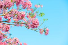 Tabebuia rosea is a Pink Flower neotropical tree and blue sky Stock Photos