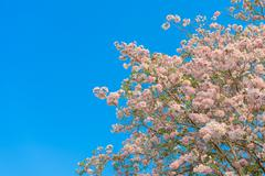 Tabebuia rosea is a Pink Flower neotropical tree and blue sky - stock photo