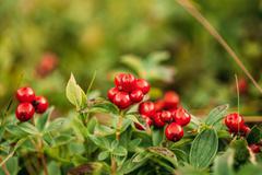 Wild lingon berries closeup, Norway nature - stock photo
