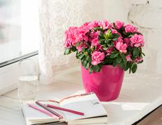 blooming pink azalea in pink flowerpot white rustic background - stock photo