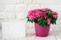 Blooming azalea in pink flowerpot blank card free place for text Stock Photos