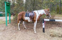 Red-white horse with a saddle and harness - stock photo