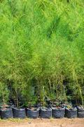 Thuja young green plants for sale Stock Photos