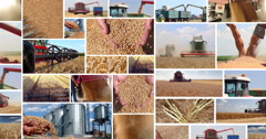 Wheat harvest multiscreen Stock Footage