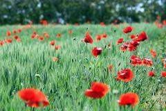 poppies flower on meadow landscape spring season - stock photo