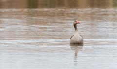 Graylag on the lake - stock photo