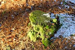 Tree stump in winter covered with moss, around the fallen pine needles Stock Photos