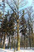 Big Snowy oak tree in winter in the forest, wood, sky Kuvituskuvat