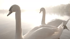 A Pair Of Elegant Swans On A Beautiful Misty Morning Lake Stock Footage