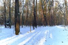 Forest road in winter with snow, oak. pine, landscape - stock photo