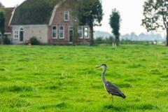 Wild grey heron on a bright green grass - stock photo