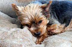 Yorkshire lying in his brown dog bed and waiting, dog, mammals Stock Photos