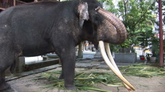 Indian Elephant in the Gangaramaya Temple Stock Footage