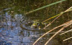 Stock Photo of Frog in Heat