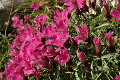 Dianthus callizonus, endemic carnation plant from Piatra Craiului Mountains Stock Photos