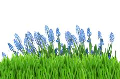 Muscari flowers with grass Stock Photos