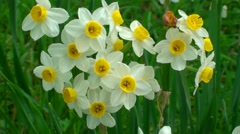 Narcissus flowers Stock Footage