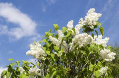 Blossoming Syringa vulgaris in Minsk a botanical garden Stock Photos