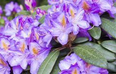 Flowers purple rhododendron in the  Minsk a botanical garden - stock photo