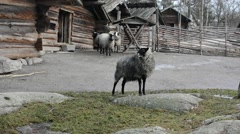 Sheep staying in front of the wooden huts in Skansen, near Stockholm Stock Footage