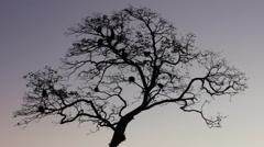 Howler Monkeys in a Tree at Sunset Stock Footage