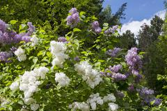 Blossoming Syringa vulgaris in Minsk a botanical garden, Belarus - stock photo