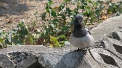 Oriental magpie robin expand its feather Stock Footage