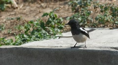 Oriental magpie robin rub its beak on the floor Stock Footage