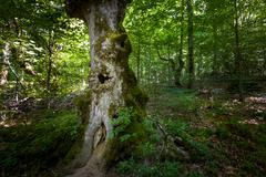 Old tree with hollow. Virgin forests of Biogradska mountain national park Stock Photos