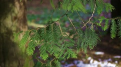 In the pines Stock Footage