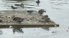 Birds eating and relaxing on a floating wooden raft in the park, London Stock Footage