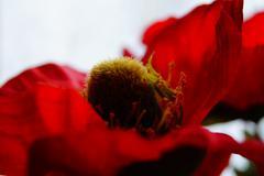 Beautiful poppy flower head opening Kuvituskuvat