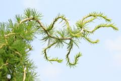 Larches are conifers in genus Larix - stock photo