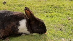 A black rabbit is eating a carrot on a lawn Stock Footage