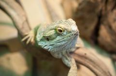 Iguana in terrarium Stock Photos