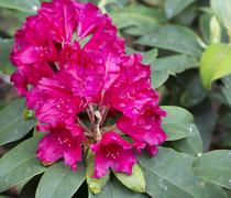Stock Photo of Flowers pink rhododendron in the  Minsk a botanical garden