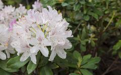 Flowers white rhododendron in the  Minsk a botanical garden Stock Photos