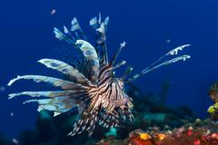 Lionfish in the Bahamas Kuvituskuvat