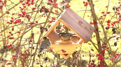Birds eating in starling - stock footage