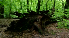 Tree trunk in beech forest Stock Footage