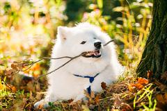 Funny Happy White Samoyed Dog Outdoor in Autumn Forest, Park Stock Photos