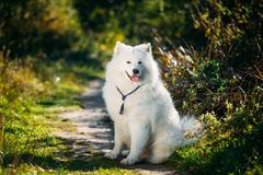 Very Funny Happy Funny Lovely Pet White Samoyed Dog Outdoor in S - stock photo