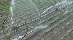 Agriculture paprika field watering, HD Zoom out Stock Footage