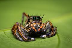 Macro of jumping spider. - stock photo