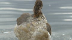 Duck cleaning her feathers on the lake shore in London Stock Footage