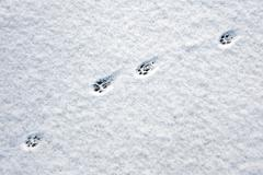 Cat footsteps - stock photo