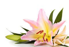 Pink lilies arrangement. Stock Photos