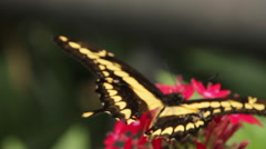 Eastern Swallowtail Butterfly - stock footage
